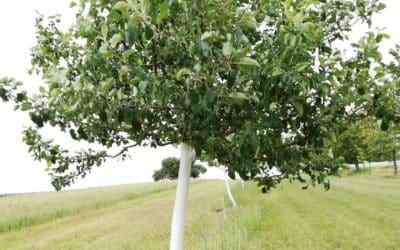 Stammschäden an Obstbäumen geben Rätsel auf