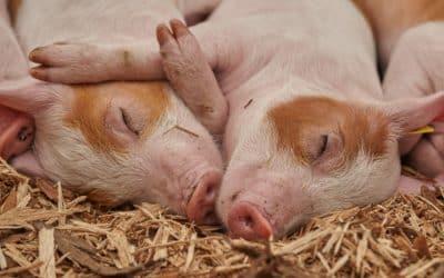 SVLFG bietet Schweinehaltern Unterstützung an